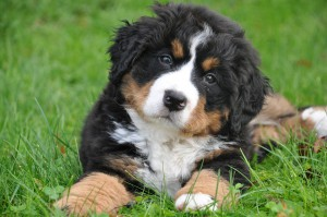 bernese-mountain-dog-1177074_960_720